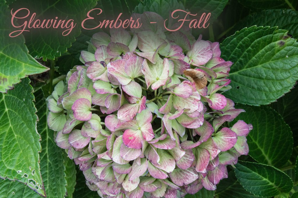 Bloomstuck Hydrangeas in Fall