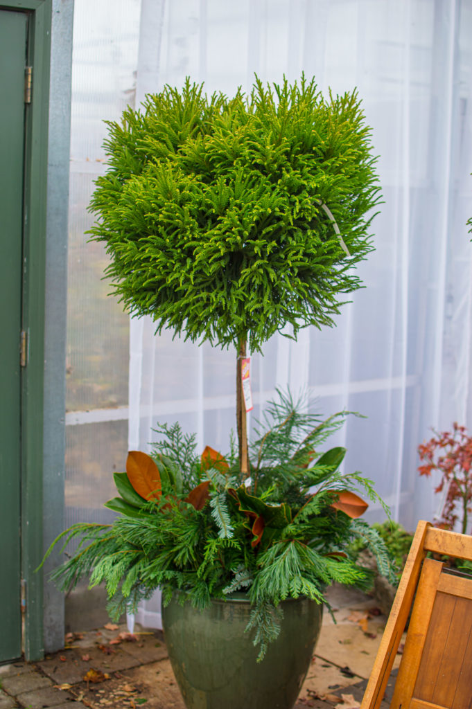 Cryptomeria on a standard with live evergreen cuttings